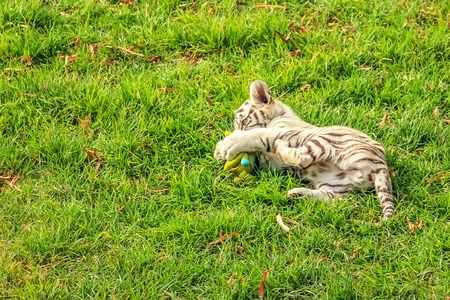 recessive: A small white tiger, Panthera tigris, plays in the green grass. The white tiger is present only in the Bengal tiger, the only one with the recessive gene. Stock Photo