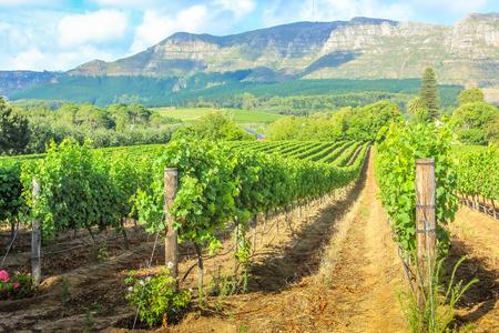 Reihen der Trauben in der malerischen Weinregion Stellenbosch mit Thelema Berg im Hintergrund. Die Weinberge von Stellenbosch Wine Routes sind eine der beliebtesten Sehenswürdigkeiten von Südafrika in der Nähe von Kapstadt