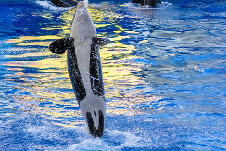 killer whale: A killer whale, Orcinus Orca, jumps in the water. Stock Photo