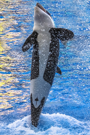 killer whale: A killer whale, Orcinus Orca, jumping in the water with bubbles.