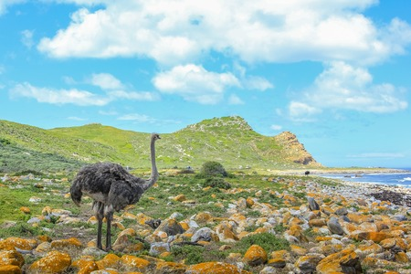 struthio camelus: Close up of Ostrich, Struthio camelus, in the beautiful coast at the Cape of Good Hope in Table Mountain National Park, South Africa.