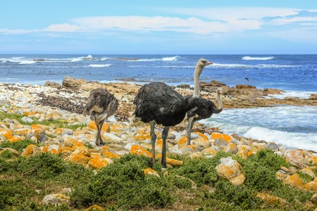struthio camelus: Three common ostriches on pebble beach of Cape of Good Hope Nature Reserve in Atlantic coast of Cape Peninsula National Park, South Africa.