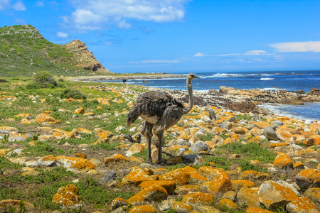 struthio camelus: A Wild Ostrich look the Atlantic ocean of the Cape of Good Hope, a section of Table Mountain National Park, Cape Peninsula, South Africa.