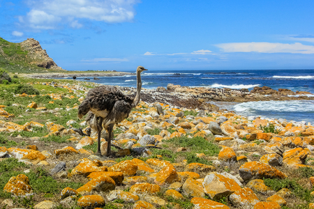 struthio camelus: Ostrich, Struthio camelus, in the beautiful coast at the Cape of Good Hope, South Africa. Stock Photo