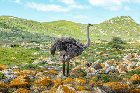 struthio camelus: A Wild Ostrich in landscape of Cape of Good Hope, a section of Table Mountain National Park, Cape Peninsula, South Africa.