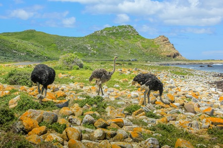 struthio camelus: Three wild ostriches in Cape of Good Hope Nature Reserve, Cape Peninsula National Park, South Africa. Stock Photo