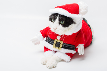 christmas pussy: lovely cat in Christmas dress and Santa Claus hat resting on studio white background and copy space. Christmas holiday concept, resting and looking left for greeting card.
