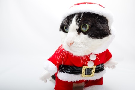 christmas pussy: smart cat in Santa Claus dress standing on studio white background and copy space. Christmas holiday concept. looking left for greeting card.