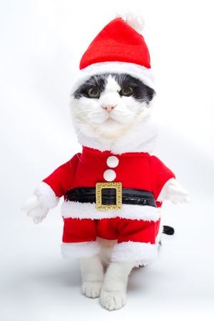 christmas pussy: Black and white cat in Santa Claus dress walking on studio white background. Christmas holiday concept in vertical.