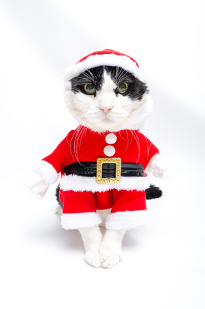 christmas pussy: funny cat in Santa Claus dress stands on studio white background. Christmas holiday concept in vertical.