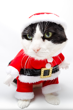 christmas pussy: cunning black and white cat in Christmas Santa Claus dress standing on studio white background. Christmas holiday concept in vertical. looking left.
