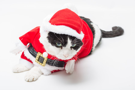 christmas pussy: Black and white cat in Christmas dress and Santa Claus hat resting on studio white background. resting and looking down