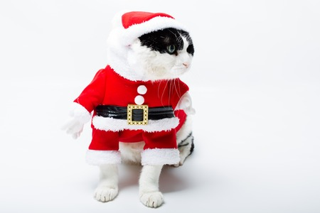 felix: cute cat in Christmas dress standing on studio white background and copy space. Christmas holiday concept. looking left.