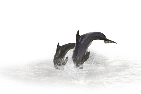 two grey dolphins jumping in the water playing with each other. Isolated on white background with water in the background.
