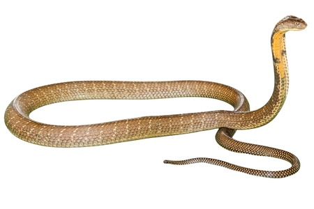 king cobra: King Cobra Ophiophagus hannah, isolated on white background. Side view. Phobic symbol par excellence. Stock Photo