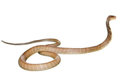 King Cobra Snake Ophiophagus hannah, isolated on white background. Side view. Phobia concept. Stock Photo
