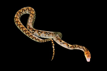 Reticulated Python snake Pythonidae Reticulatus, isolated on black background. copy space. Stock Photo