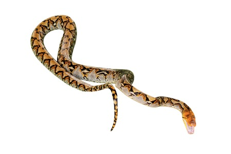 Reticulated Python snake Pythonidae Reticulatus, isolated on white background. copy space.