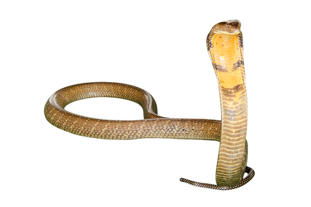 king cobra: King Cobra Snake Ophiophagus hannah, isolated on white background. Front view.
