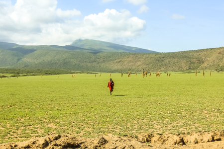 african tribe: Ngorongoro Crater, Tanzania - January 6, 2013: a Masai African tribe with its colorful traditional clothing, running towards us. In the background a group of the Ngorongoro Crater giraffes. Editorial
