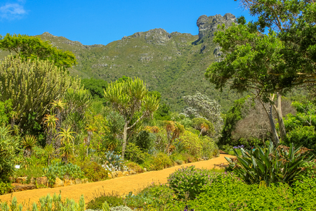 plants species: The many species of plants and flowers native of the popular Kirstenbosch botanical gardens in Cape Town, South Africa with the Table Mountain National Park on background.