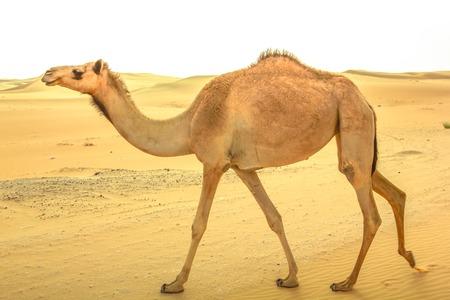 Ein einsamer junger wilder Dromedary, Camelus Dromedarius, auch genanntes arabisches Kamel, walkin auf der Sandwüste in Dubai, Vereinigte Arabische Emirate. Nahost-Reise-Konzept. Kopieren Sie Platz. Standard-Bild - 72259712