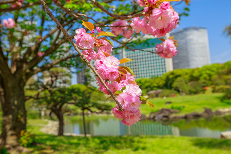 Blossoming cherry tree in Hamarikyu Gardens, Tokyo, Japan. Oriental japanese garden during Hanami. Shiodome buildings on blurred background. Spring concept, outdoor life and relax. Stock Photo
