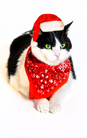 christmas pussy: Portrait of a cute black and white cat wearing a red bandana and Santa Claus hat, white studio background. Cat in Christmas dress isolated on white background and copy space for greeting card.