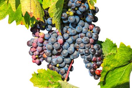 Raisins rouges mûrs sur la branche avec des feuilles isolées sur fond blanc. Contexte saisonnier avec espace de copie. Banque d'images - 81624827