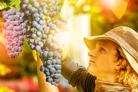 season specific: Farmer controlling red grape on tree. Concepts of sustainable living, outdoor work, contact with nature, healthy food. Close up of a man looking at grapes ready for harvest.