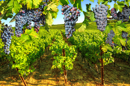 Picturesque vineyard in Napa Valley, San Francisco Bay, California. Red grapes hanging in vineyard. Branch of grapes ready for harvest. Seasonal background.