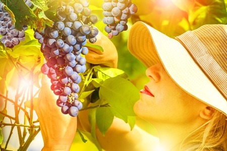 Close up of a woman looking at grapes ready for harvest. Woman with hat smells and feels of fragrant red grape tree. Concepts of healthy food, contact with nature, sustainable living. Sunset shot. Stock Photo