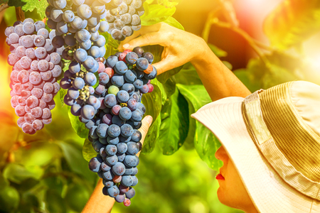 Close up of a woman looking at grapes ready for harvest. Woman with hat smells and feels of fragrant red grape tree. Concepts of healthy food, contact with nature, sustainable living. Stock Photo