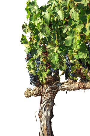 Row of ripe red grapes. Seasonal background with copy space. Branch of grapes ready for harvest. Stock Photo