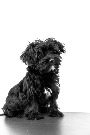 A cute black dog Morkie or Yorktese or Malkie, puppy the age of 4 month, isolated on white background. Breed from Maltese and Yorkshire Terrier dogs. Copy space. Studio vertical shot.