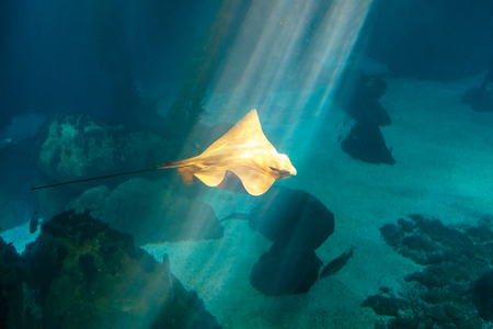 Eagle Ray, Myliobatis aquila, with sun rays cruises over the deep seafloor. Eagle Ray is a cartilage fish of Myliobatidae family, common in Mediterranean and Adriatic Sea. Lisbon Oceanarium, Portugal.