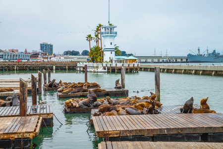 californian: Sea lions at Pier 39 a popular tourist attraction in San Francisco, California, United States. Pier 39 is located at the edge of Fishermans Wharf district and is close to North Beach and Embarcadero.