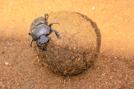 Ball of excrement rolled by dung beetle on the sand ground in the Serengeti National Park, Tanzania in Africa.