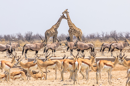 wild animals pyramid with giraffes springboks and oryxs in Namibian savannah of Etosha National Park in Namibia, Africa