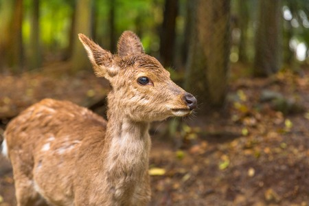 Close up of young wild deer in Nara Park, Japan, a public park where over 1,200 wild sika are free and are considered a natural monument. Deer are the symbol of Naras greatest tourist attraction. Stock Photo