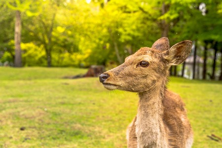 Portrait of Nara deer in Nara, Japan. Popular wild deer in Nara Park, a public park where over 1,200 wild sika rotates freely and are considered a natural monument. Blurred background.