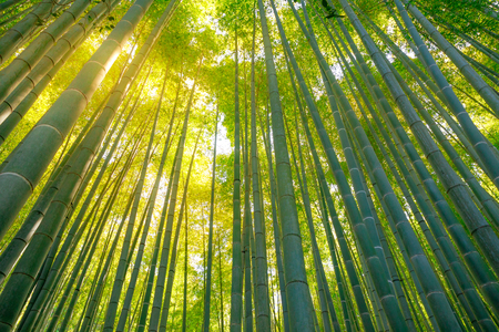 Green bamboo background. Bottom view of grove of bamboo garden in surreal sunlit. Take-dera  Temple in Kamakura, Japan. Meditative concept. Stock Photo