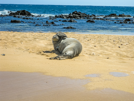Portrait of a hawaiian monk seal sleeping on the tropical beach, Kauai, Hawaii, Usa.
