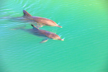 Two cute dolphins swim in clear waters of Monkey Mia, a marine reserve near Denham, Shark Bay, on coral coast in Western Australia. Monkey Mia is the only place in Australia visited daily by dolphins. Stock Photo