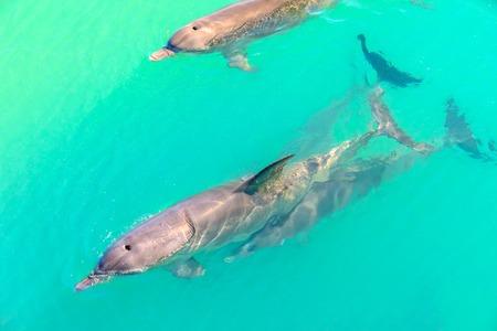 Close up de golfinhos nadando em Monkey Mia, uma reserva marinha perto de Denham, Shark Bay, na costa de corais na Austrália Ocidental. Monkey Mia é o único lugar na Austrália visitado diariamente por golfinhos. Foto de archivo - 93776323