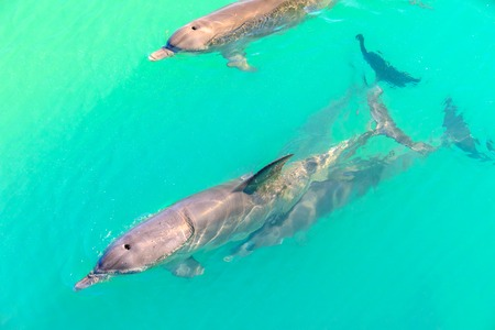 Closeup of dolphins swimming in Monkey Mia, a marine reserve near Denham, Shark Bay, on coral coast in Western Australia. Monkey Mia is the only place in Australia visited daily by dolphins. Stock Photo