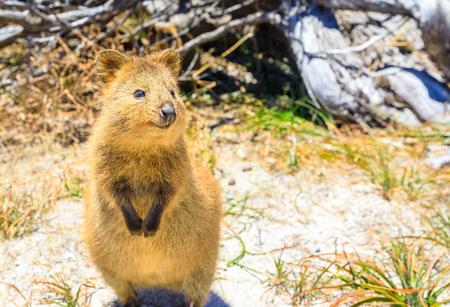 귀여운 Quokka 야외. 화창한 날, 웨스턴 오스트레일리아에서 로트 네스트 섬. Quokka는 언제나 미소를 일깨우는 주둥이 표현 덕분에 세계에서 가장 행복한  스톡 콘텐츠