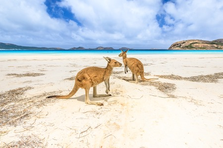 kangaroos standing at Lucky Bay in Cape Le Grand National Park, near Esperance in Western Australia. Lucky Bay is one of Australias most well-known beaches known for pristine white sand and kangaroos Stock Photo