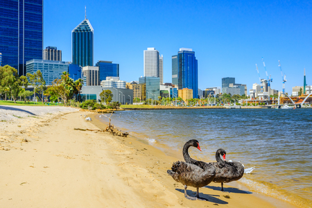 Two Black Swans on the shoreline of Swan River in Perth, Western Australia. Perth city skyline with its modern skyscrapers on background. Sunny day, blue sky. Фото со стока - 94392010