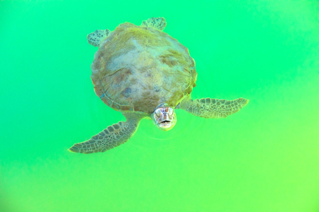 A Green Sea Turtle, Chelonia Mydas, coming to the surface for breathing, from crystal clear waters of Monkey Mia on Coral Coast in Shark Bay, Western Australia. Stock Photo